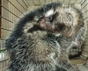 Giant Rat Kills Predators with Poisonous Hair [LiveScience 2011-08-01]