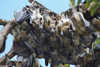 ...Flying Mammals: Gallery of Spooky Bats - Straw-coloured Fruit Bat (Eidolon helvum) [LiveScience