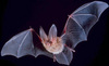 ...Flying Mammals: Gallery of Spooky Bats - Townsend's Big-Eared Bat (Corynorhinus townsendii) [Liv