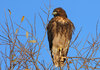 In Photos: Birds of Prey - Red-tailed hawk (Buteo jamaicensis) [LiveScience 2011-08-13]
