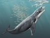 Blue Whale's Elastic Jaw Evolved From Stiff Maw [LiveScience 2011-08-16]