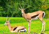 ...Look Quick: Gallery of the Fastest Beasts on Land - Grant's Gazelle (Nanger granti) [LiveScience