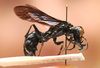 Meet Indonesia's warrior wasp [NewScientist 2011-08-22]