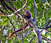 Amazon Expedition Discovers New Monkey [LiveScience 2011-08-25]