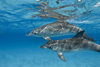 ...Deep Divers: A Gallery of Dolphins - Atlantic Spotted Dolphin (Stenella frontalis) [LiveScience