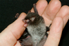 New 'demon' bat discovered in Vietnam [Mongabay 2011-09-01]