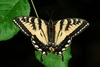 Common Butterfly Is Hybrid of Two Species [LiveScience 2011-09-14]