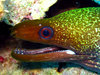 ...In Photos: Spooky Deep-Sea Creatures - Gymnothorax undulatus, Undulated moray [LiveScience 2011-