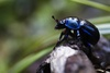Image Gallery: Shimmering Metallic Beetles - Blue Dung Beetle [LiveScience 2011-09-27]