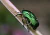 Image Gallery: Shimmering Metallic Beetles - Rose Chafer [LiveScience 2011-09-27]