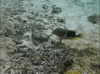 Tool-Using Fish Caught for First Time on Video [LiveScience 2011-09-29]