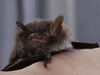 Superfast Muscles Help Bats Make High-Pitched Buzz [LiveScience 2011-09-29]