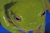 Desert Frogs 'Fog Up' to Collect Water [LiveScience 2011-09-30]