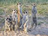 Calling Card: Meerkats Can Identify Another by Voice Alone [LiveScience 2011-10-12]