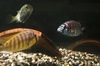 Fishy Nannies 'Sneak' Their Offspring into School [LiveScience 2011-10-14]