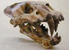 Ancient Saber-Toothed Cat Drooled Like a St. Bernard [LiveScience 2011-11-01]