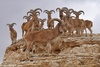 Libyan Barbary Sheep - Ammotragus lervia fassini