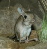 Greater Egyptian Jerboa - Jaculus orientalis