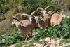 Urmia Wild Sheep - Ovis ammon urmiana