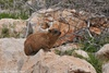 Syrian Rock Hyrax - Procavia capensis syriacus