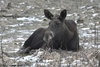 Female European Moose - Alces alces alces