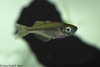 Threadfin Rainbowfish - Iriatherina werneri