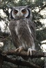 Southern White-faced Scops Owl - Ptilopsis granti