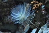 Spallanzani's Feather Duster Worm - Spirographis spallanzani