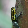 Poison Frogs Dress in Hometown Colors [LiveScience 2011-11-21]