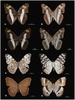 New Butterfly Species ID'ed by DNA [LiveScience 2011-11-28]