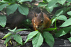 Eurasian Red Squirrel - Sciurus vulgaris