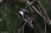 Azure-crowned Hummingbird - Amazilia cyanocephala