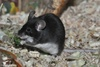 House Mouse or Fancy Mouse (color variation) - Mus musculus f. domestica