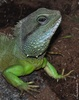 Chinese Water Dragon - Physignathus cocincinus