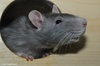 Coloured Rat - Rattus norvegicus f. domestica