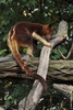 Goodfellow's Tree Kangaroo - Dendrolagus goodfellowi