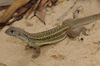 ...Gallery: New Species of the Mekong - Parthenogenic Sand Iguana (Leiolepis ngovantrii) [LiveScien