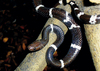 ...Gallery: New Species of the Mekong - Boehme's Wolf Snake (Lycodon synaptor) [LiveScience 2011-12