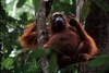 How Orangutans Survive Potential Starvation [LiveScience 2011-12-14]