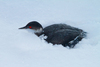 Thousands of Birds Dive-Bomb Utah Parking Lots [LiveScience 2011-12-14]