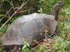 'Extinct' Galapagos Tortoise Reappears [LiveScience 2012-01-09]