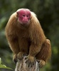 Gallery: Monkey Mug Shots - Bald Uakari [LiveScience 2012-01-10]