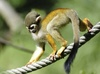 Gallery: Monkey Mug Shots - Common Squirrel Monkey [LiveScience 2012-01-10]