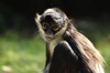 Gallery: Monkey Mug Shots - Geoffroy's Spider Monkey [LiveScience 2012-01-10]