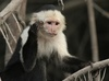 Gallery: Monkey Mug Shots - White-Faced Capuchin [LiveScience 2012-01-10]