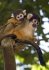 Gallery: Monkey Mug Shots - Black-Capped Squirrel Monkey [LiveScience 2012-01-10]