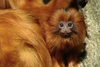 Gallery: Monkey Mug Shots - Golden Lion Tamarin [LiveScience 2012-01-10]