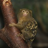 Gallery: Monkey Mug Shots - Pygmy Marmoset [LiveScience 2012-01-10]
