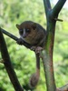 ...New Lemur Climbs out of Hiding in Madagascar - Gerp's mouse lemur (Microcebus gerpi) [LiveScienc