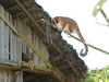 New Lemur Climbs out of Hiding in Madagascar - Gerp's mouse lemur (Microcebus gerpi) [LiveScienc...